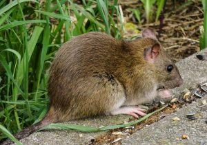 rat chewing food near the grass