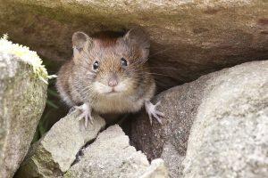 mouse on stony ground